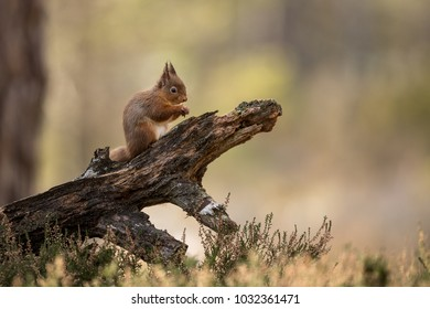 Red Squirrel eating a hazelnut perched on a log with a green and brown background and heather in the foreground.