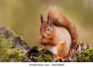 Red Squirrel eating nuts on a mossy log against green background on the forest in Scotland, UK.