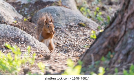Red squirrel eating nuts in spring in central Sweden