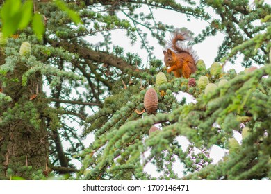 Red Squirrel eating on Branch, Balatonakarattya, Hungary.
