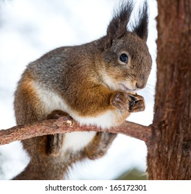 Red squirrel eating sunflower seeds  on tree branch
