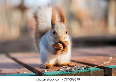 Red squirrel eating walnut in the park - close-up shot