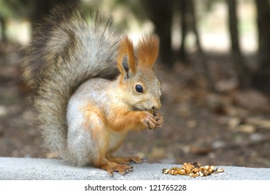 red squirrel eats a nut