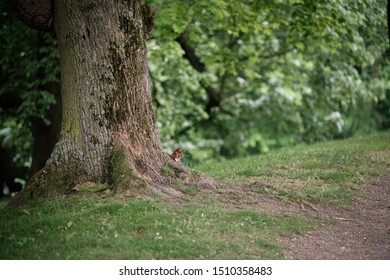 red squirrel emerging behind tree while holding sticks to build a nest