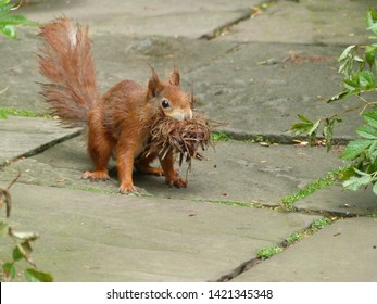 Red squirrel or Eurasian red squirrel with material for nest building in the mouth (Sciurus vulgaris) Hanover District, Germany
