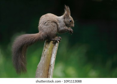 The red squirrel or Eurasian red squirrel (Sciurus vulgaris)