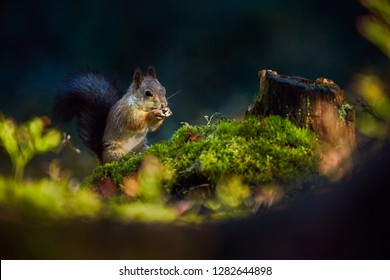 Red squirrel or Eurasian red squirrel (Sciurus vulgaris), eating a walnut in the dark forrest. Wild animal from Finnish countryside