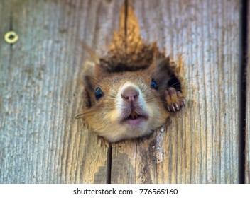 The red squirrel or Eurasian red squirrel (Sciurus vulgaris), a rodent in nature hidden in a bird's nest, homeless, cheerful natural scene