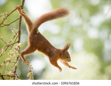 red squirrel is hanging at an willow branch