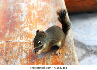 Red squirrel is having a little snack on the bench in Lake Louise area, Banff National Park