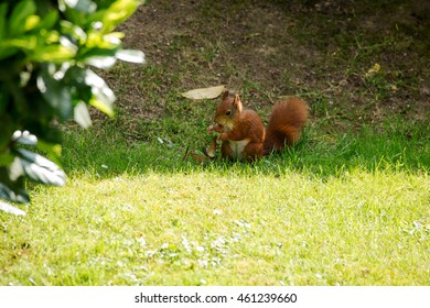 Red Squirrel with a Hazelnut