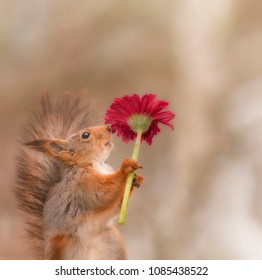 red squirrel is holding a red flower