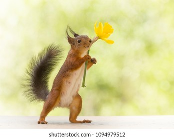 red squirrel holding an narcissus