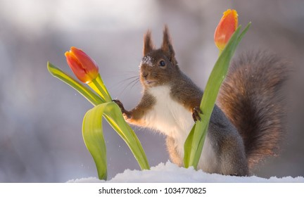 red squirrel is holding tulips in the snow