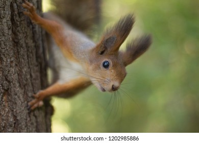 The red squirrel holds paws a tree