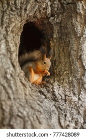 Red squirrel in a hollow on a tree