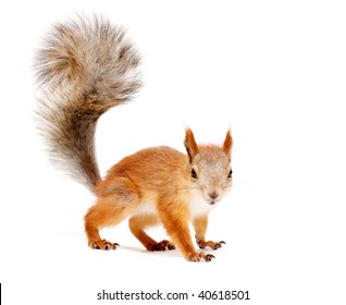 red squirrel isolated on white