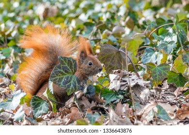 red squirrel in ivy
