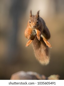 Red squirrel jumping headon over a gap in a log with a brown background.