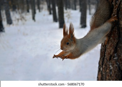 red squirrel jumps from a tree.