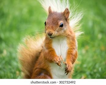 Red Squirrel, Lake District, UK