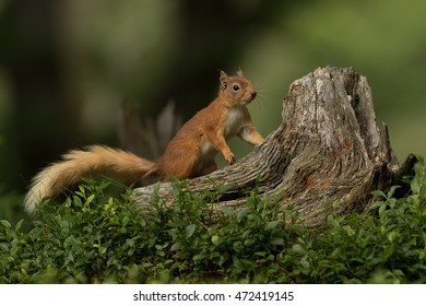 Red Squirrel looking for food on a tree stump with a green background.
