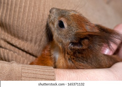Red squirrel lying on hand/Red squirrel/Red squirrel
