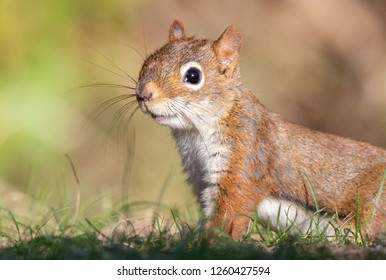 Red squirrel in Maine