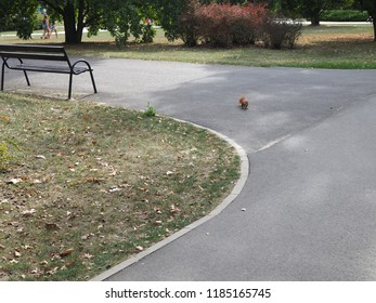 Red squirrel in the middle of a park path