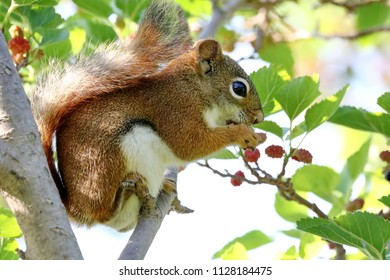 A red squirrel in a mulberry tree.