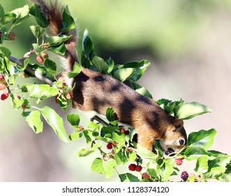 Red squirrel in a mulberry tree.