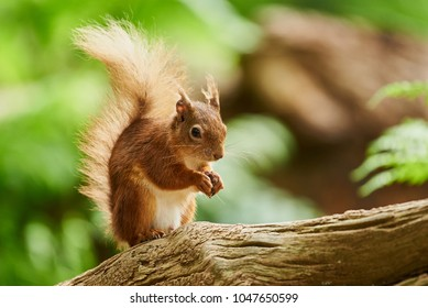 Red Squirrel in Nature