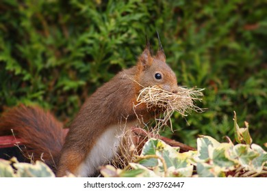 Red squirrel with a nest material