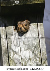Red squirrel in nesting box