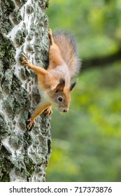red squirrel on a branch in summer, Sciurus, park
