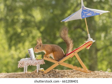 red squirrel  on a chair under an umbrella reading a book