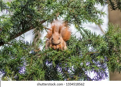 red squirrel on fir