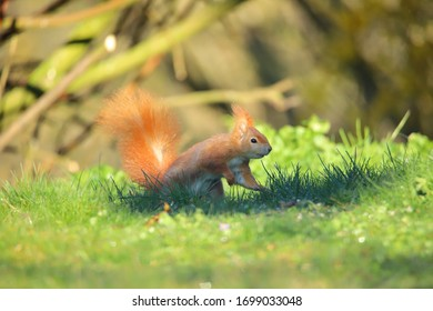 Red squirrel on the ground in green grass