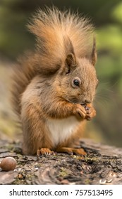Red Squirrel on a log in a forest looking around for food and eating nuts