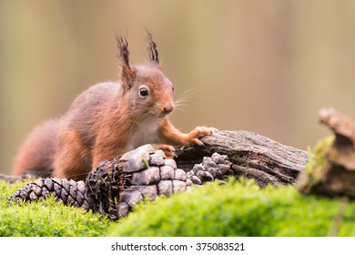 Red squirrel on the lookout