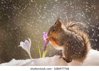 red squirrel on the snow with crocus in rain