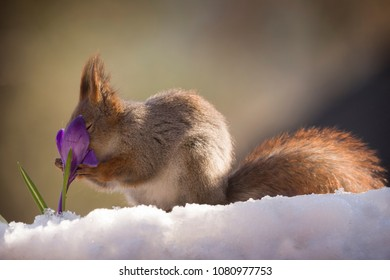 red squirrel on the snow holding an crocus