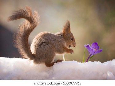 red squirrel on the snow looking at an crocus