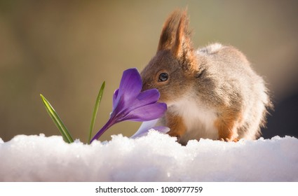 red squirrel on the snow smelling a crocus