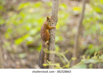 Red squirrel on thin tree in forest