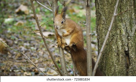 Red squirrel on the tree branch in autumn park