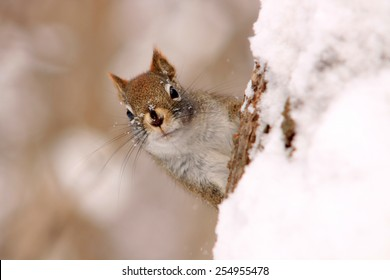 Red squirrel on a tree trunk covered in snow, peering at the photographer