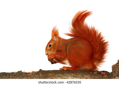 red squirrel on white background