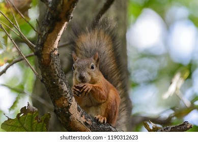 Red squirrel in park