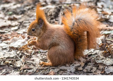 red squirrel in the park